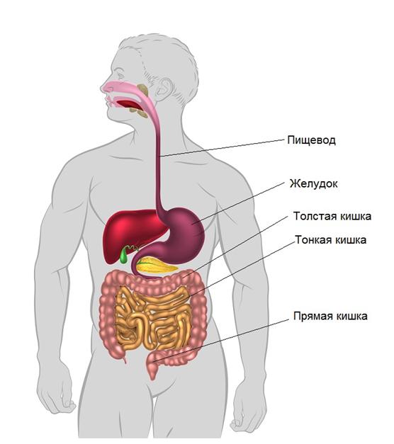 8 organizm cheloveka